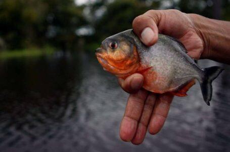 Estado busca soluções para ataques de piranhas no Lago do Manso