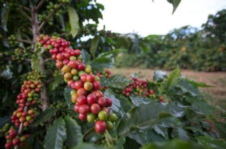 Preço do café sofre elevação, nesta quinta-feira (15)